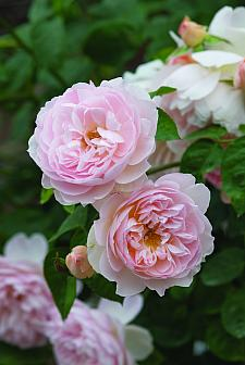 ROSA 'Gentle Hermione' (=Ausrumba) (own root), David Austin English Rose