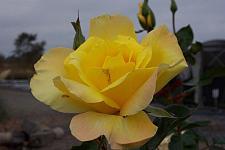 ROSA 'Golden Showers', Large Flowered Climber