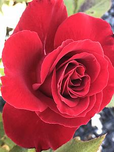 ROSA 'Lady in Red', Climbing Rose