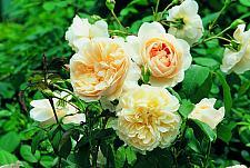 ROSA 'Liechfield Angel' (=Ausrelate) (own root), David Austin English Rose