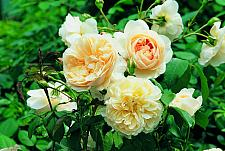 ROSA 'Lichfield Angel' (=Ausrelate) (own root), David Austin English Rose