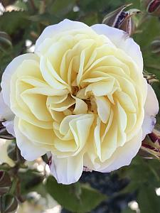 ROSA 'Life of the Party', Floribunda Rose