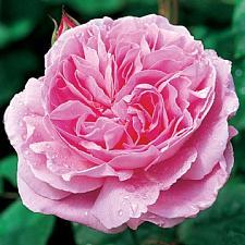 ROSA 'Mary Rose' (=Ausmary) (own root), David Austin English Rose