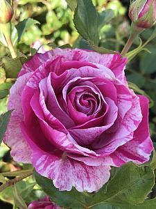 ROSA 'Parade Day' (=WEKmeroro), Grandiflora