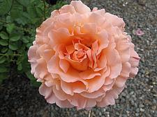 ROSA 'Polka' (own root), Modern, Large-flowered Climber
