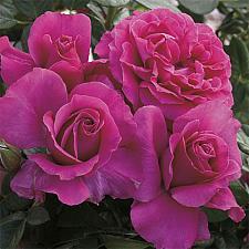ROSA 'Pretty Lady Rose', Hybrid Tea