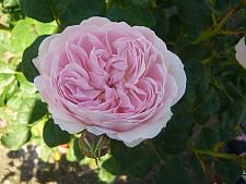 ROSA 'Queen of Sweden' (=Austiger) (own root), David Austin English Rose