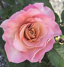 ROSA 'Rosie the Riveter' (=WEKzazou), Floribunda