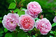 ROSA 'Strawberry Hill' (=Ausrimini), David Austin English Rose