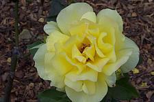 ROSA 'Sunsprite', Floribunda