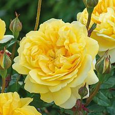 ROSA 'The Poet's Wife' (=Auswhirl), David Austin English Rose