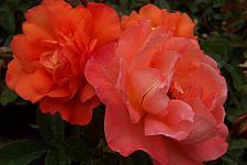 ROSA 'Westerland' (own root), Modern, Cluster-flowered/Floribunda