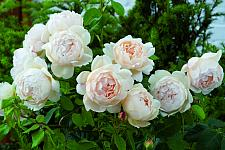 ROSA 'Wollerton Old Hall' (=Ausblanket) (own root), David Austin English Rose