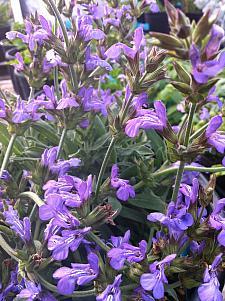 SAGE 'Dwarf' (Salvia officinalis 'Compacta'), Dwarf Garden, Green or Common Sage