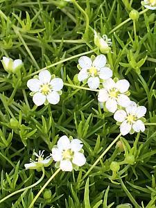 SAGINA subulata 'Aurea', Scotch Moss