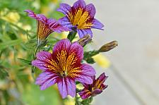 SALPIGLOSSIS 'Royale Purple', Painted Tongue
