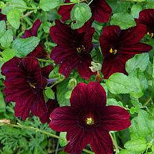 SALPIGLOSSIS 'Royale Chocolate', Painted Tongue