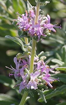 SALVIA leucophylla 'Point Sal Spreader', Mexican Purple Sage, Gray Sage