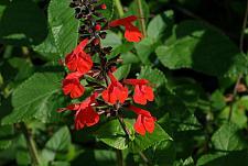 SALVIA coccinea, Texas Sage