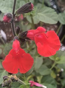 SALVIA microphylla 'Red Velvet', Cherry Sage, Baby Sage, Little Leaf Sage