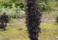 SAMBUCUS nigra Black Tower ('Eiffel01'), Black Tower Elder