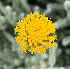 SANTOLINA chamaecyparissus, Lavender Cotton
