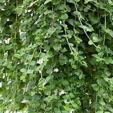 SATUREJA douglasii 'Indian Mint', Yerba Buena