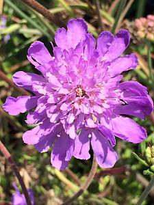 SCABIOSA columbaria 'Butterfly Blue', Pincushion Flower
