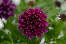 SCABIOSA columbaria 'Gelato Blueberry', Pincushion Flower