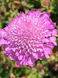 SCABIOSA columbaria 'Pink Mist', Pincushion Flower