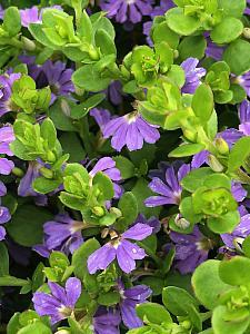 SCAEVOLA 'Mauve Clusters', Fan Flower