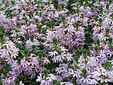 SCAEVOLA aemula 'Scalora Diamond', Fan Flower