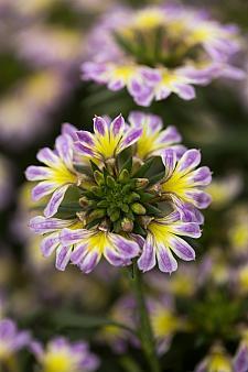 SCAEVOLA aemula 'Scalora Glitzy', Fan Flower