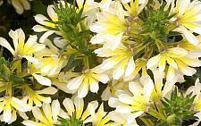 SCAEVOLA hybrid 'Suntastic', Fan Flower