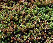 SEDUM album 'Coral Carpet', Stonecrop