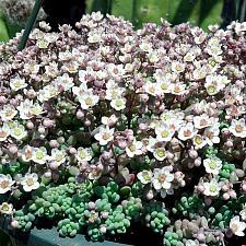 SEDUM dasyphyllum 'Major', Blue Tears Sedum, Thick-leaved Stonecrop