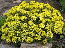 SEDUM kamtschaticum var. floriferum 'Weihenstephaner Gold', Stonecrop