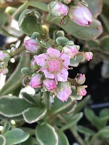 SEDUM spurium 'Tricolor', Stonecrop