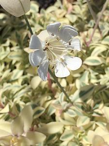 SILENE uniflora 'Druett's Variegated', Bladder or Sea Campion, Carpet Catchfly