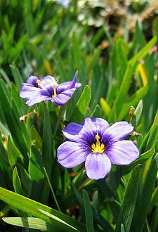 SISYRINCHIUM bellum 'Rocky Point', Dwarf Californian Blue-Eyed Grass