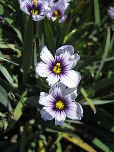 SISYRINCHIUM bellum 'Nanum', Dwarf Californian Blue-Eyed Grass