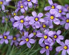 SISYRINCHIUM bellum, Californian Blue-Eyed Grass