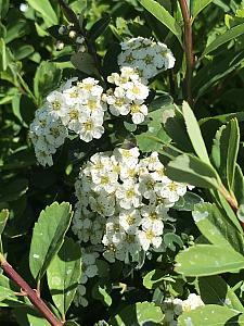 SPIRAEA nipponica 'Snowmound', Japanese Spiraea