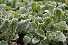 STACHYS byzantina 'Silver Carpet', Lamb's Ears, Woolly Betony