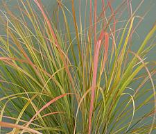 STIPA arundinacea 'Sirocco', Feather Reed, Pheasant's Tail Grass