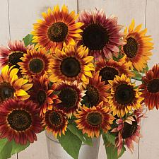 SUNFLOWER Autumn Beauty, Organic Heirloom Sunflower