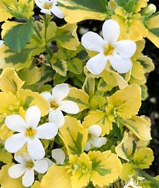 SUTERA hybrid 'Gold 'n' Pearls', Bacopa Gold 'n Pearls