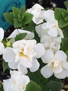 SUTERA Scopia 'Double Snowball', Bacopa 'Double Snowball'
