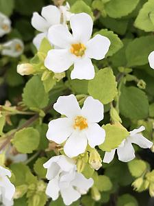 SUTERA cordata 'Scopia Golden Leaves White', Bacopa