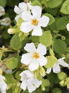 SUTERA cordata 'Scopia Golden Leaves White', Bacopa